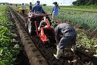 付属農場でサツマイモの収穫作業が始まりました