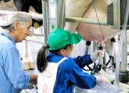 乳牛の搾乳実習