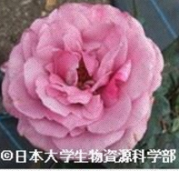 バラ品種の写真(Part24)公開いたしました。