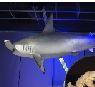 新剥製標本の展示:シロシュモクザメの母子-Sphyrna zygaena- <font color=#ff0000>(3階イベントホール : 5月14日迄)</font>